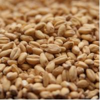 Briess White Wheat